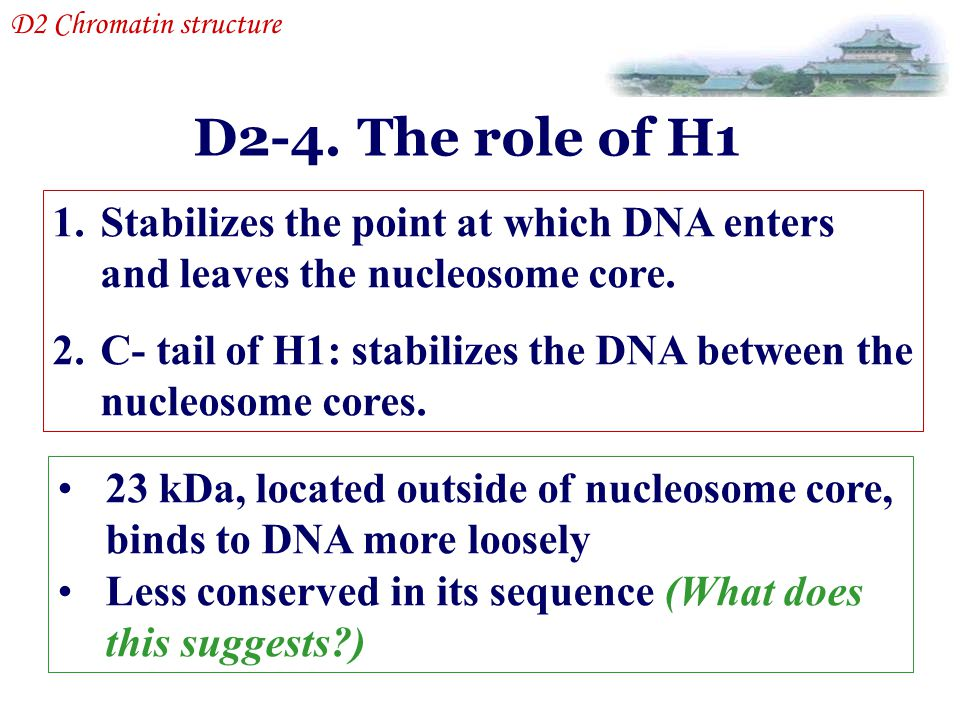 D2 Chromatin structure D2-4. The role of H1. Stabilizes the point at which DNA enters and leaves the nucleosome core.