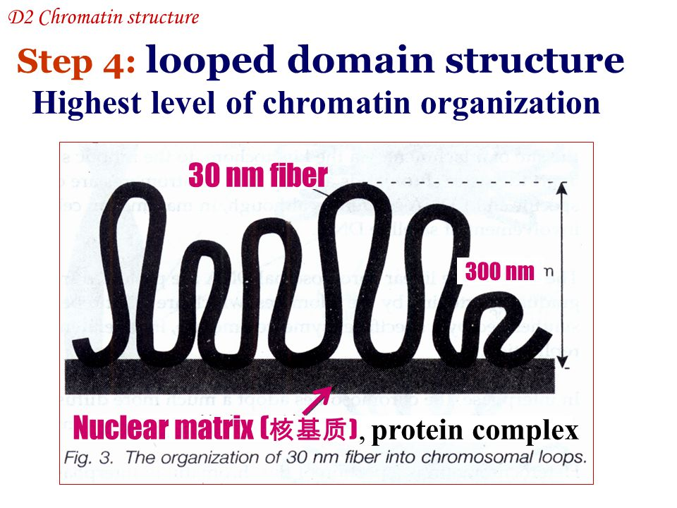 Step 4: looped domain structure