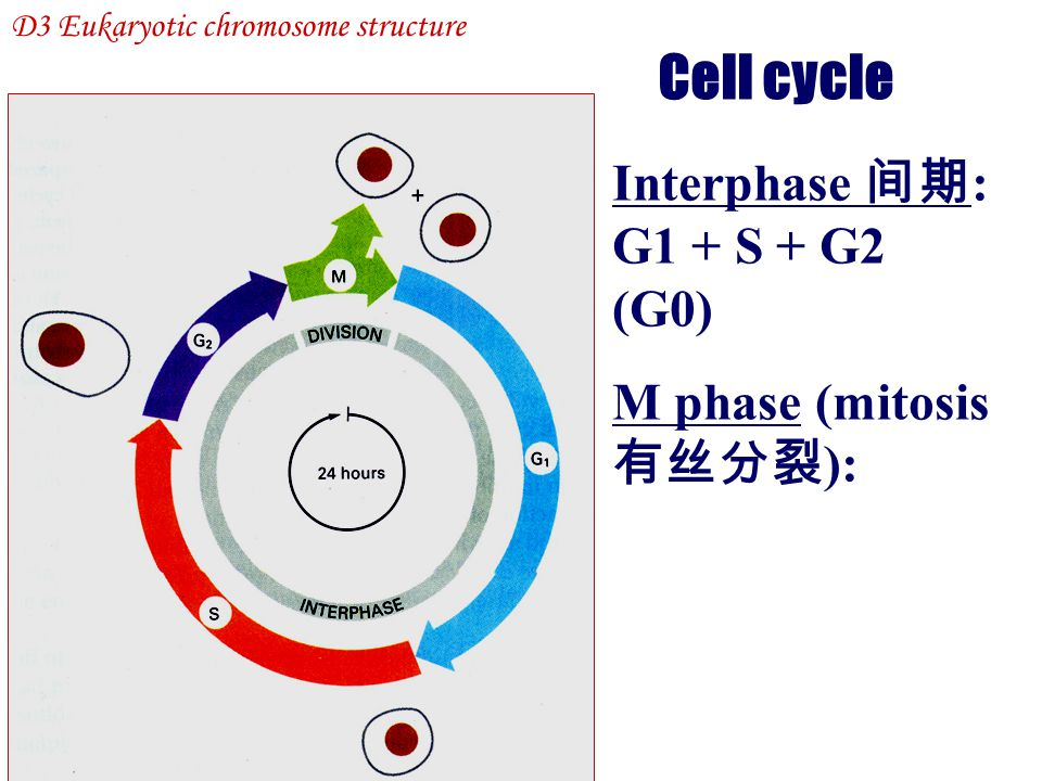 Cell cycle Interphase 间期: G1 + S + G2 (G0) M phase (mitosis 有丝分裂):