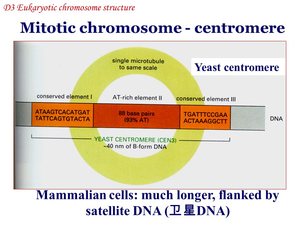 Mammalian cells: much longer, flanked by satellite DNA (卫星DNA)