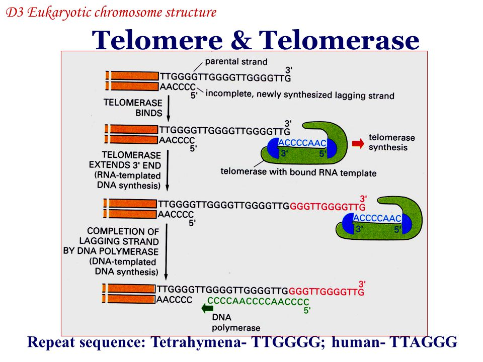 Telomere & Telomerase D3 Eukaryotic chromosome structure