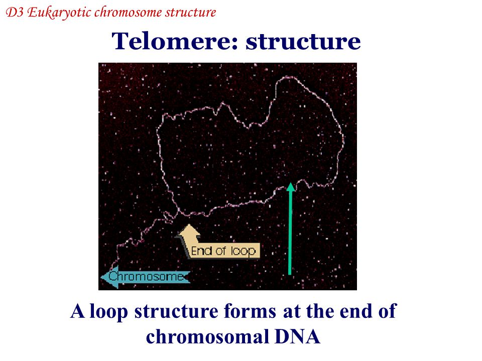 A loop structure forms at the end of chromosomal DNA