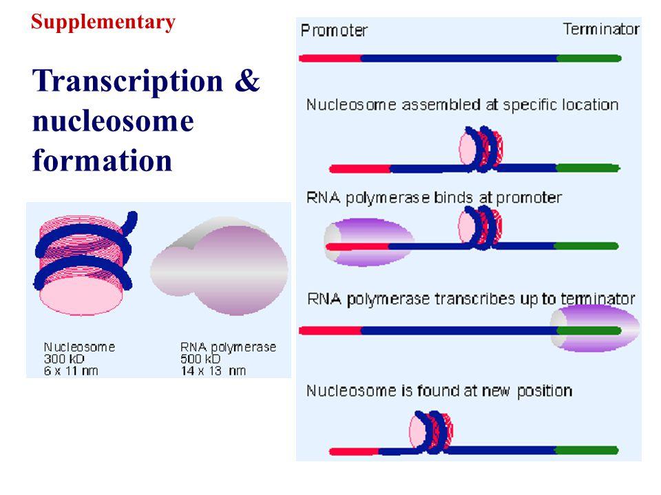 Transcription & nucleosome formation