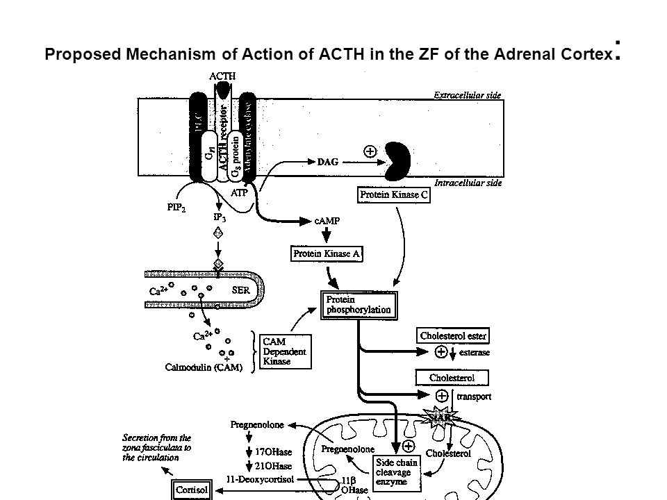 Proposed Mechanism of Action of ACTH in the ZF of the Adrenal Cortex: