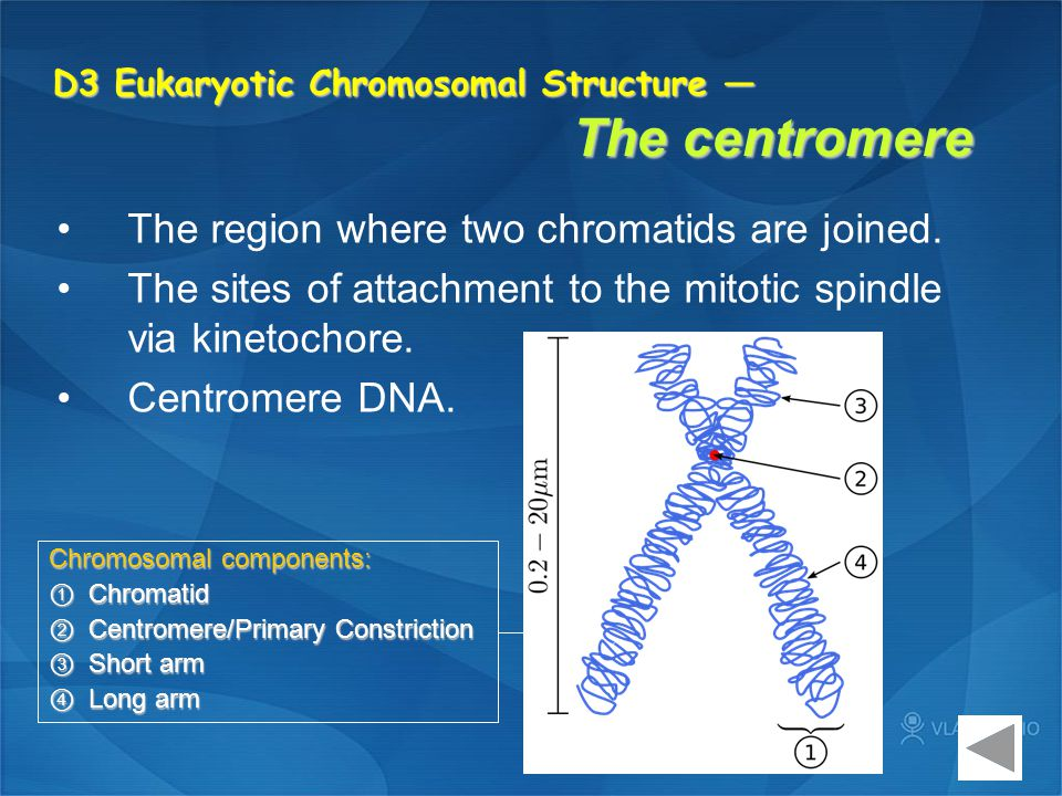 D3 Eukaryotic Chromosomal Structure — The centromere