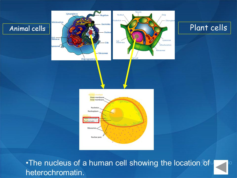 The nucleus of a human cell showing the location of heterochromatin.