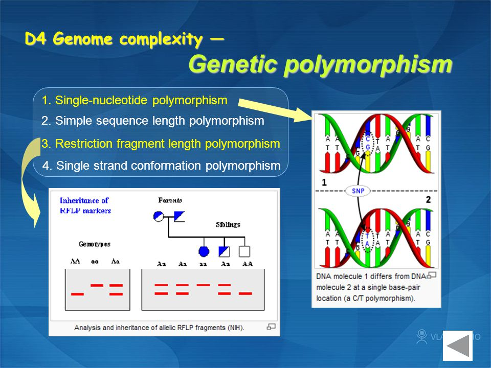 D4 Genome complexity — Genetic polymorphism