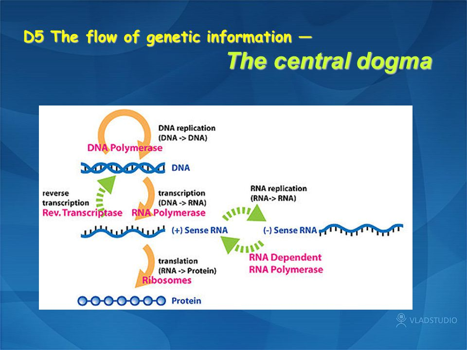 D5 The flow of genetic information — The central dogma