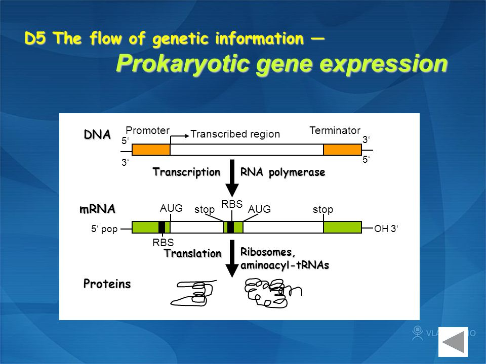 D5 The flow of genetic information — Prokaryotic gene expression