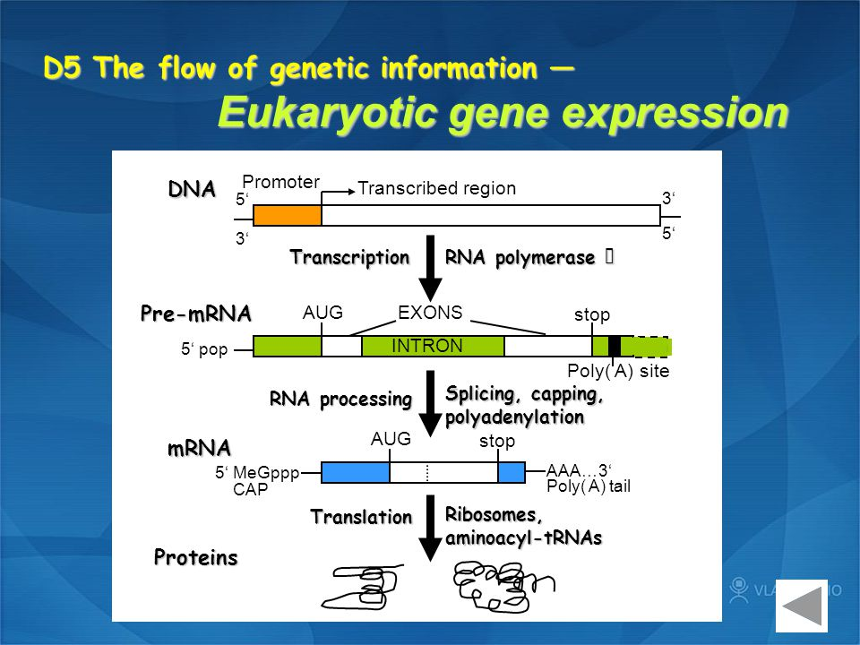 D5 The flow of genetic information — Eukaryotic gene expression