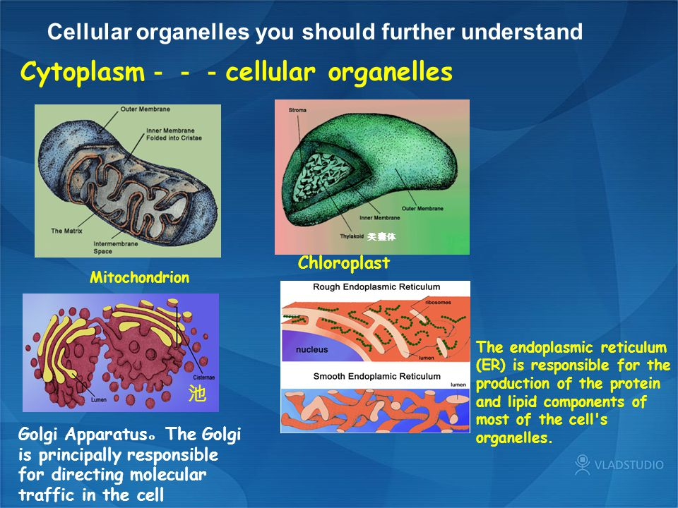 Cytoplasm---cellular organelles