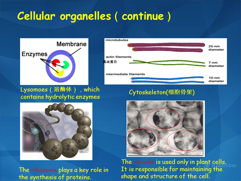 Cellular organelles(continue)