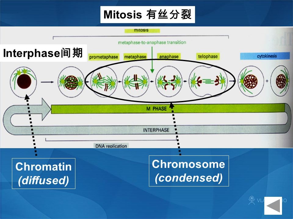Mitosis 有丝分裂 Interphase间期 Chromosome (condensed) Chromatin (diffused)