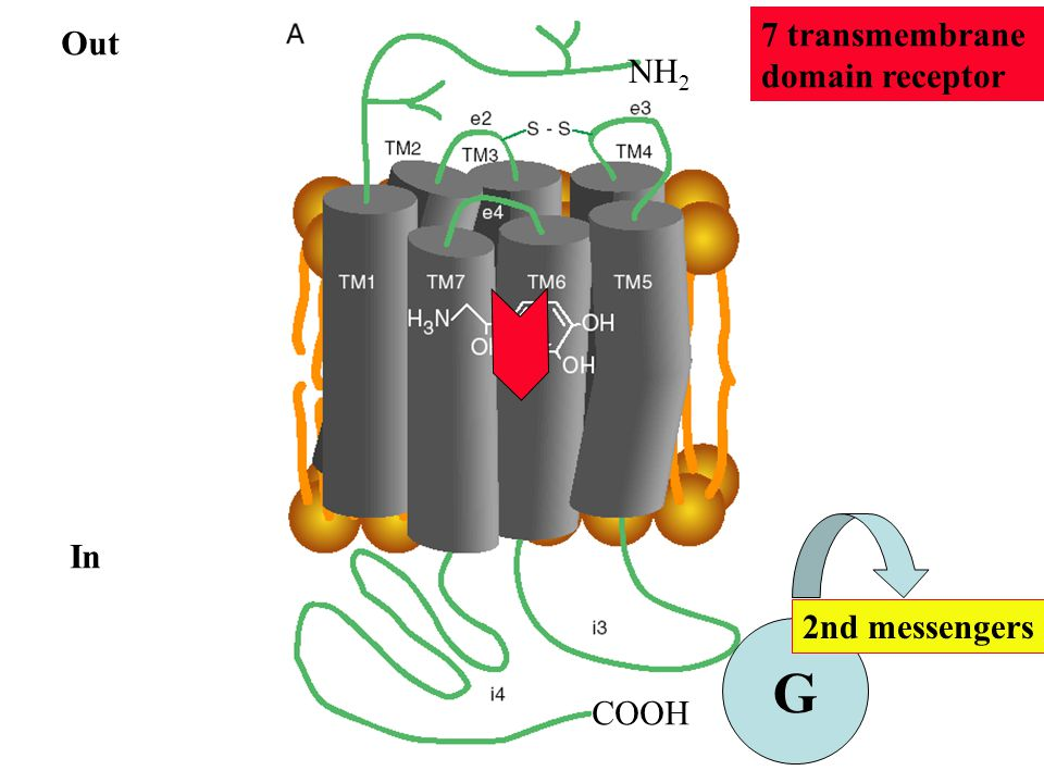 7 transmembrane domain receptor Out NH2 In 2nd messengers G COOH