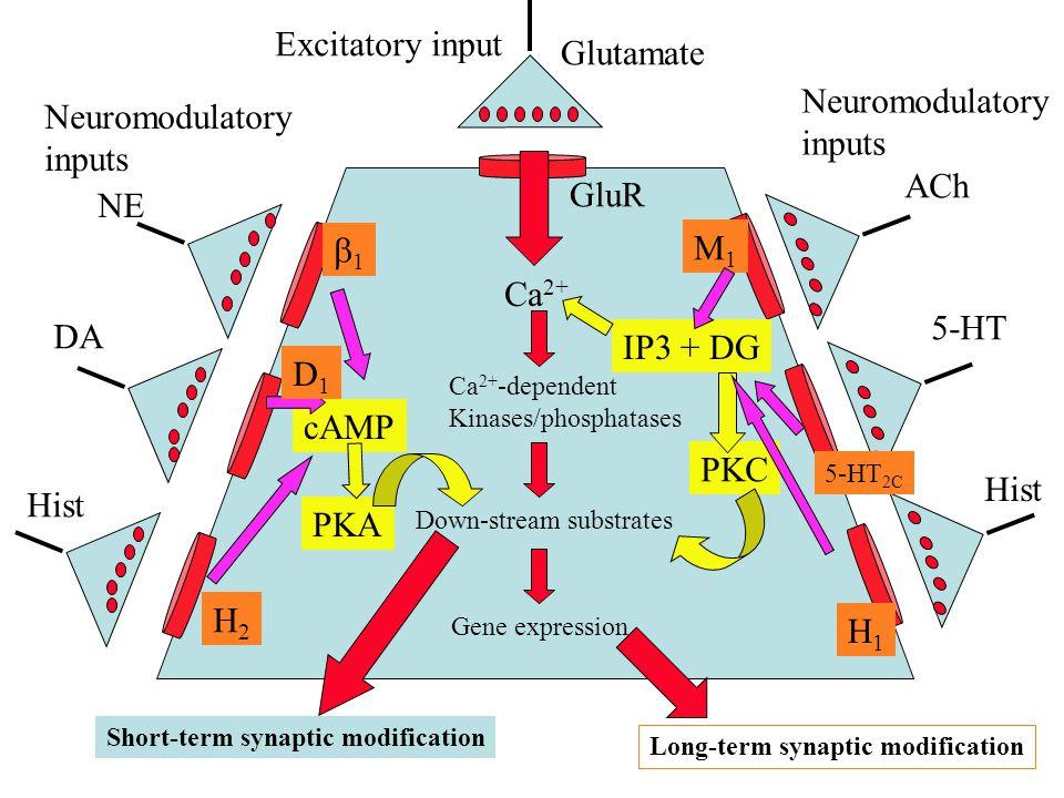 Excitatory input Glutamate Neuromodulatory Neuromodulatory inputs