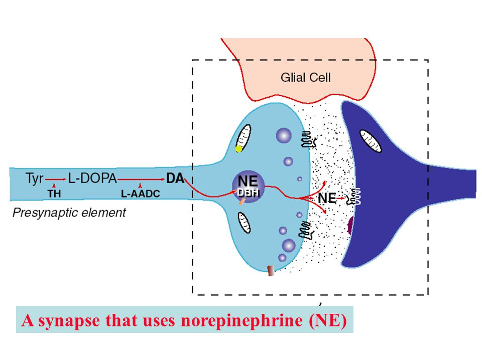 A synapse that uses norepinephrine (NE)