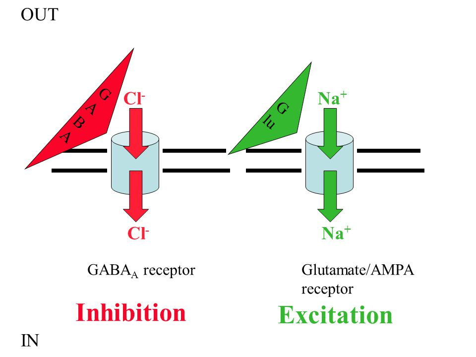 Inhibition Excitation OUT Cl- Na+ Cl- Na+ IN GABA Glu GABAA receptor