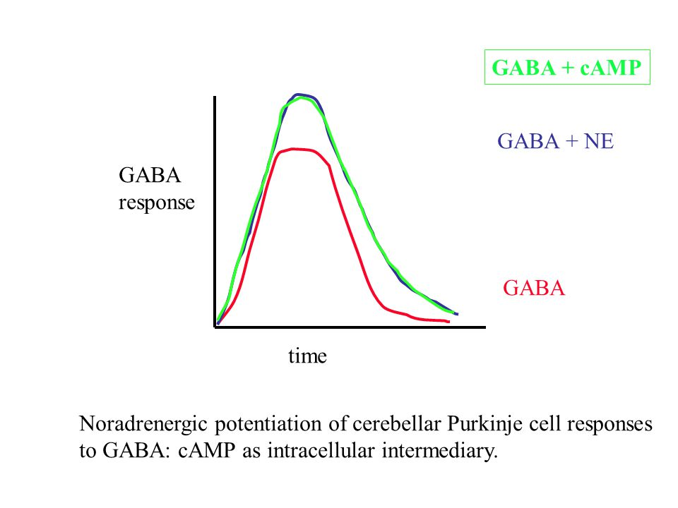 GABA + cAMP GABA + NE. GABA. GABA. response. time. Noradrenergic potentiation of cerebellar Purkinje cell responses.