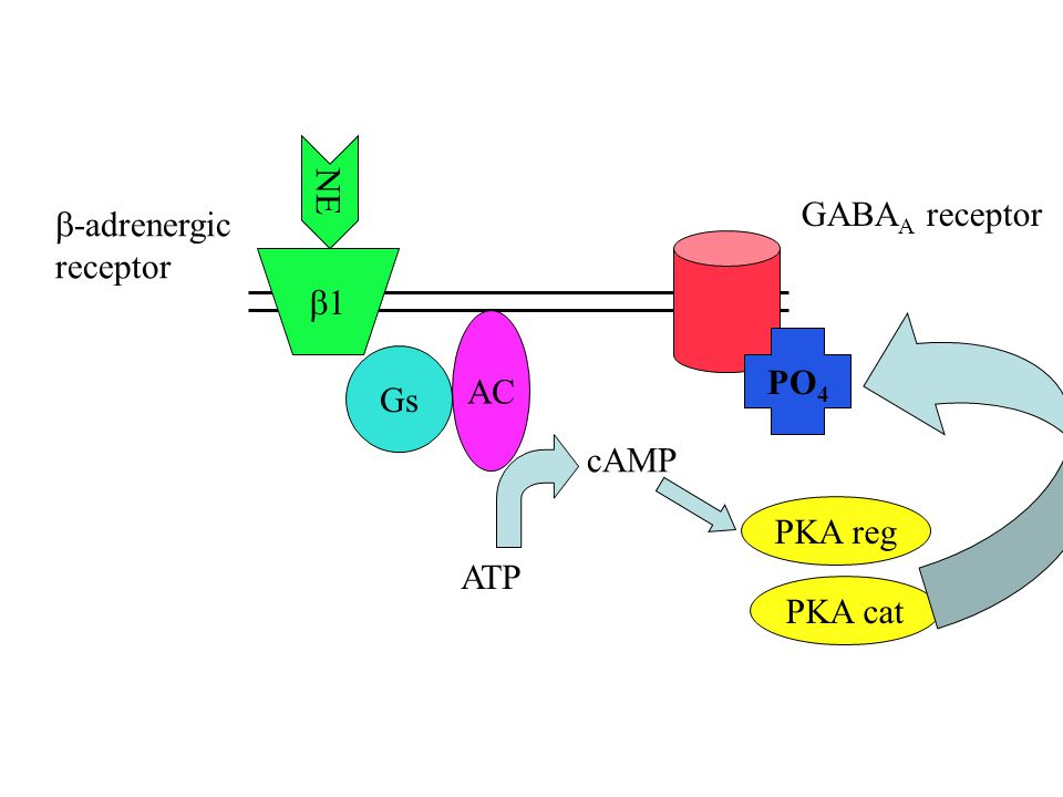 NE GABAA receptor b-adrenergic receptor AC PO4 Gs cAMP PKA reg PKA cat ATP