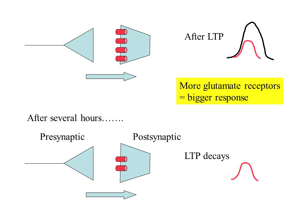 After LTP More glutamate receptors. = bigger response. After several hours……. Presynaptic. Postsynaptic.