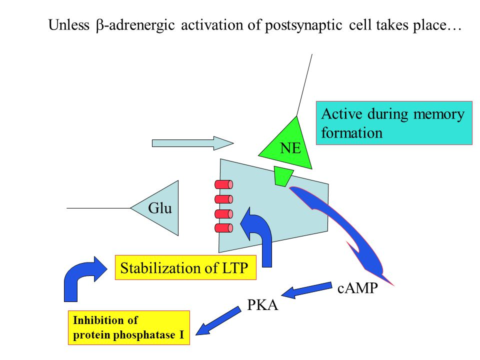 Unless b-adrenergic activation of postsynaptic cell takes place…