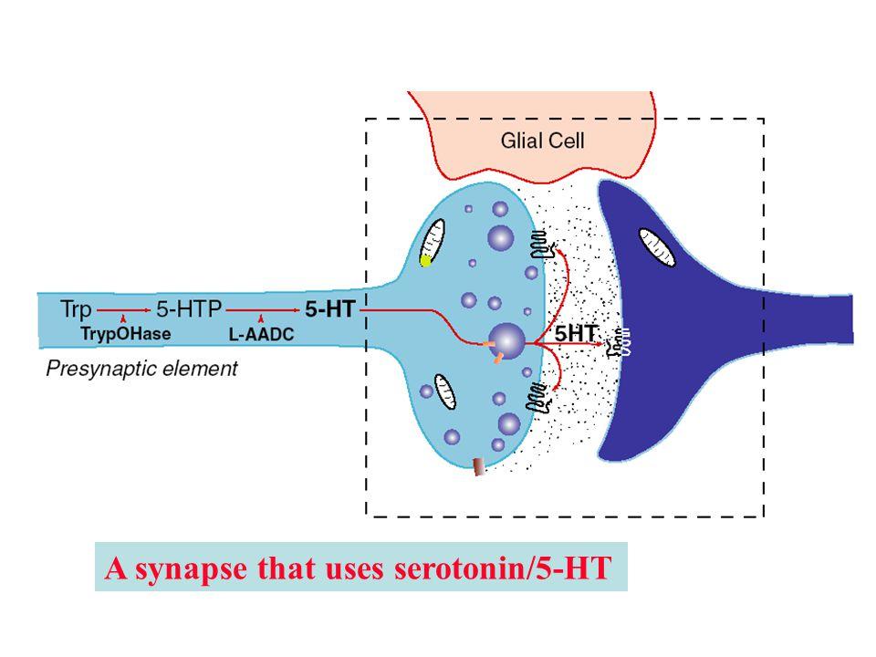 A synapse that uses serotonin/5-HT
