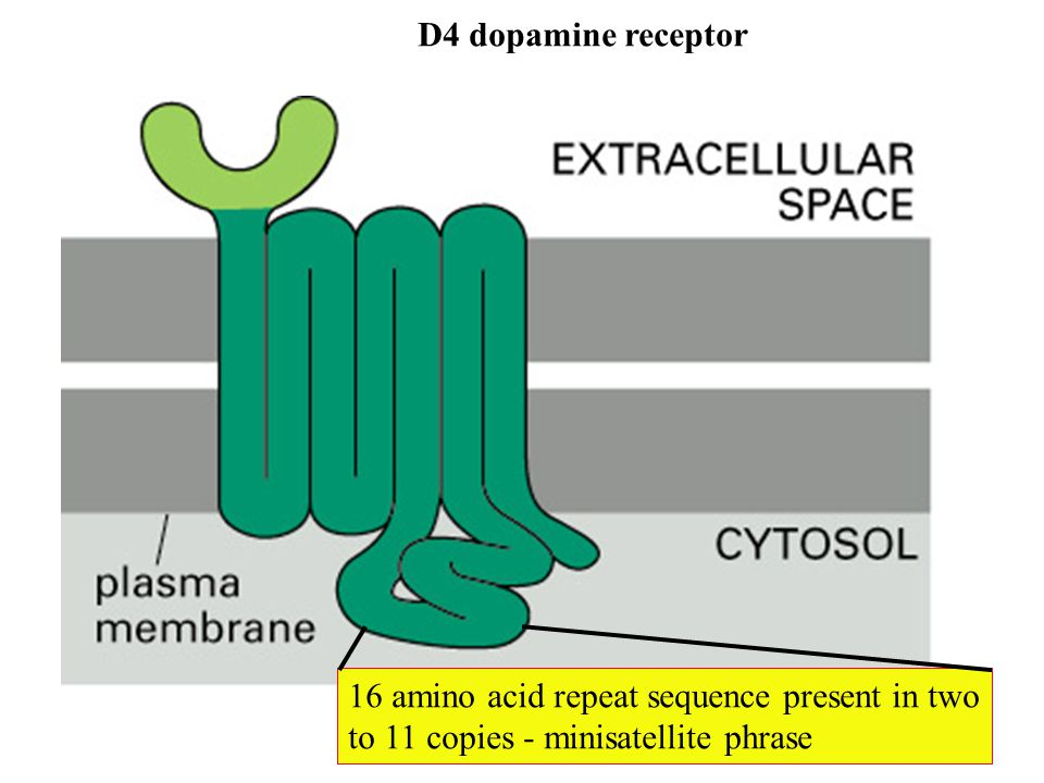 D4 dopamine receptor 16 amino acid repeat sequence present in two.