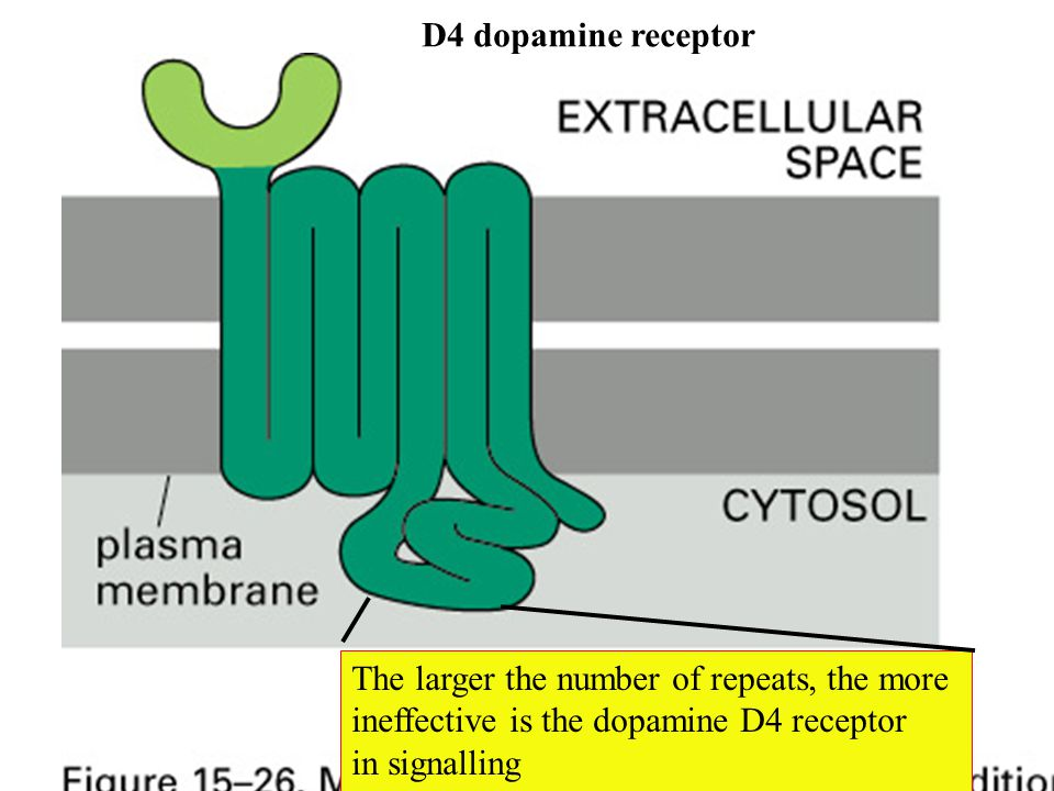 D4 dopamine receptor The larger the number of repeats, the more. ineffective is the dopamine D4 receptor.