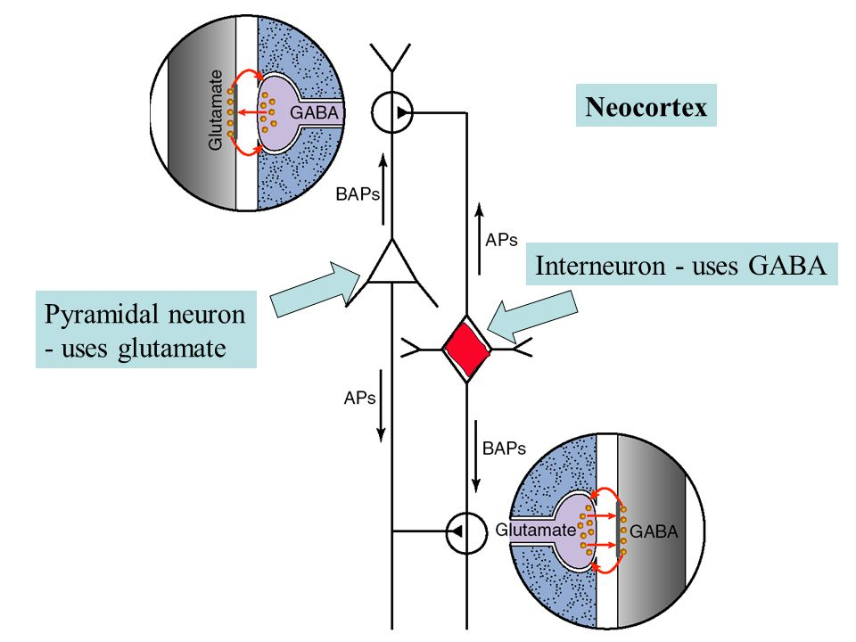 Neocortex Interneuron - uses GABA Pyramidal neuron - uses glutamate