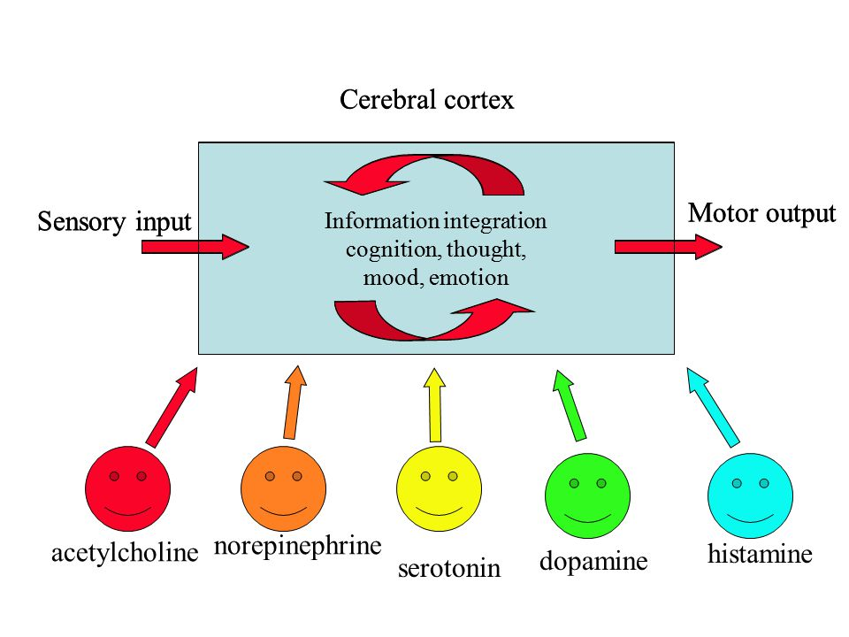 Cerebral cortex Sensory input Motor output Cerebral cortex