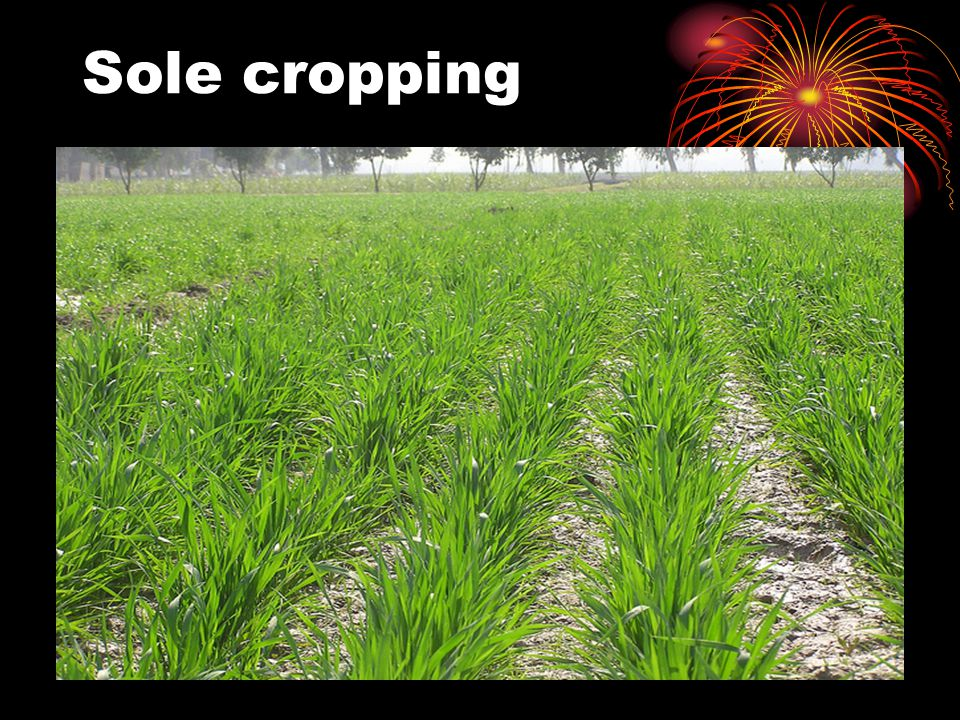 Sole cropping