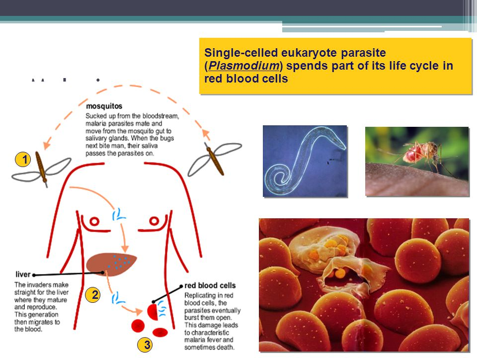 Single-celled eukaryote parasite (Plasmodium) spends part of its life cycle in red blood cells