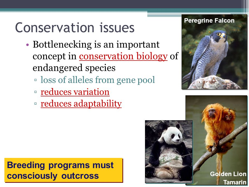 Conservation issues Peregrine Falcon. Bottlenecking is an important concept in conservation biology of endangered species.