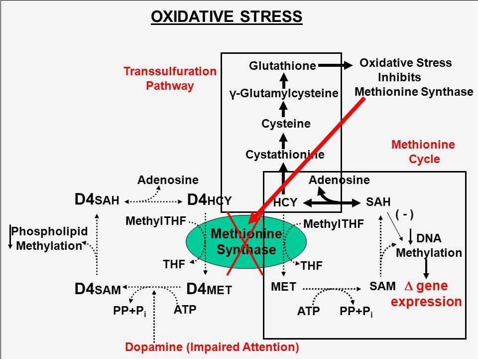 D4HCY D4SAM D4SAH D4MET OXIDATIVE STRESS Methionine Synthase  gene
