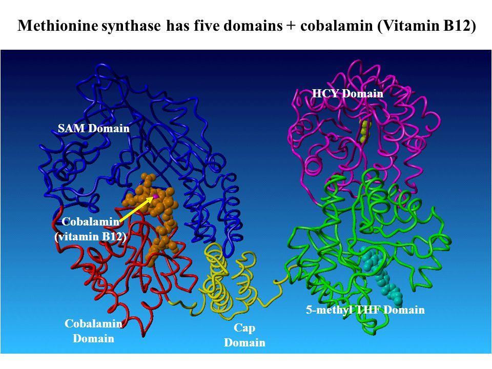Methionine synthase has five domains + cobalamin (Vitamin B12)