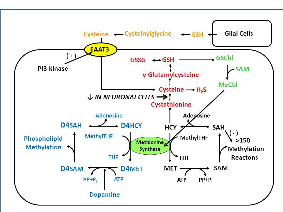 D4SAH D4HCY D4SAM D4MET Cysteine Cysteinylglycine GSH Glial Cells