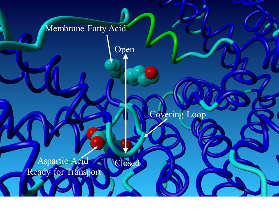 Membrane Fatty Acid Open Covering Loop Aspartic Acid Ready for Transport Closed