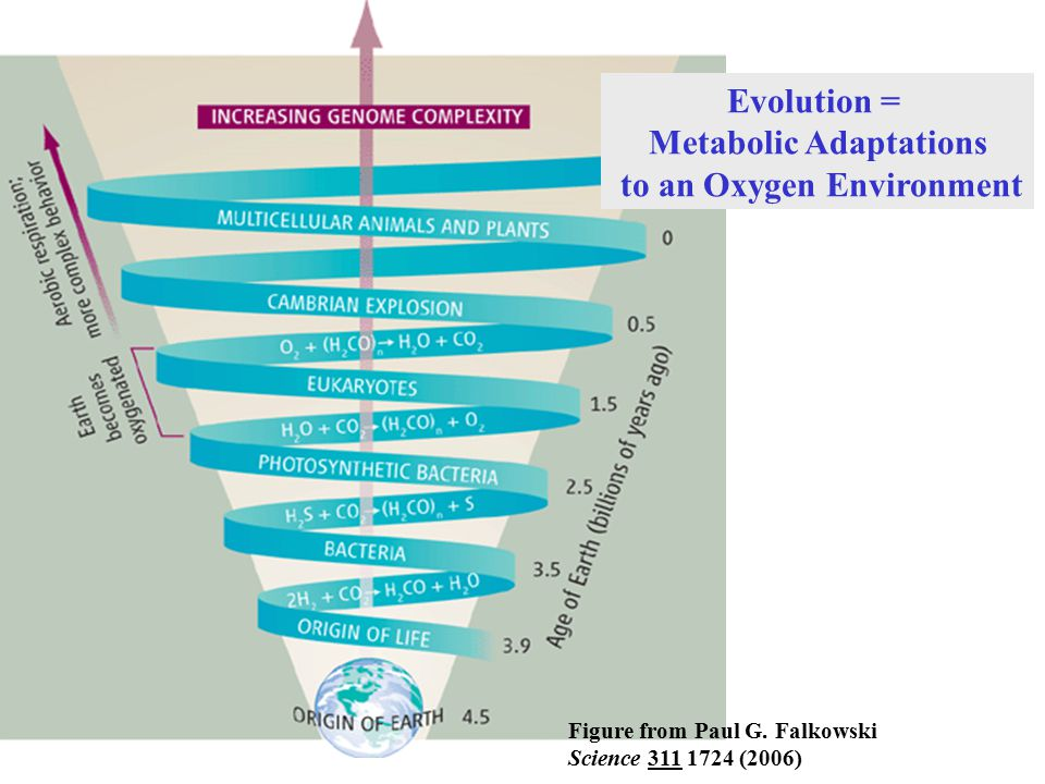 Metabolic Adaptations to an Oxygen Environment