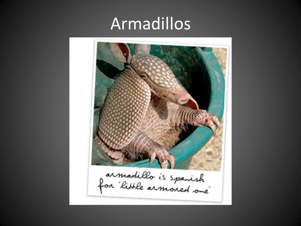 Armadillos THOUGH MOST ARMADILLOS LOOK HAIRLESS, MOST HAVE WIRY HAIRS ON SIDES AND BELLY. CAN BE RATHER LONG ON SOME SPECIES.