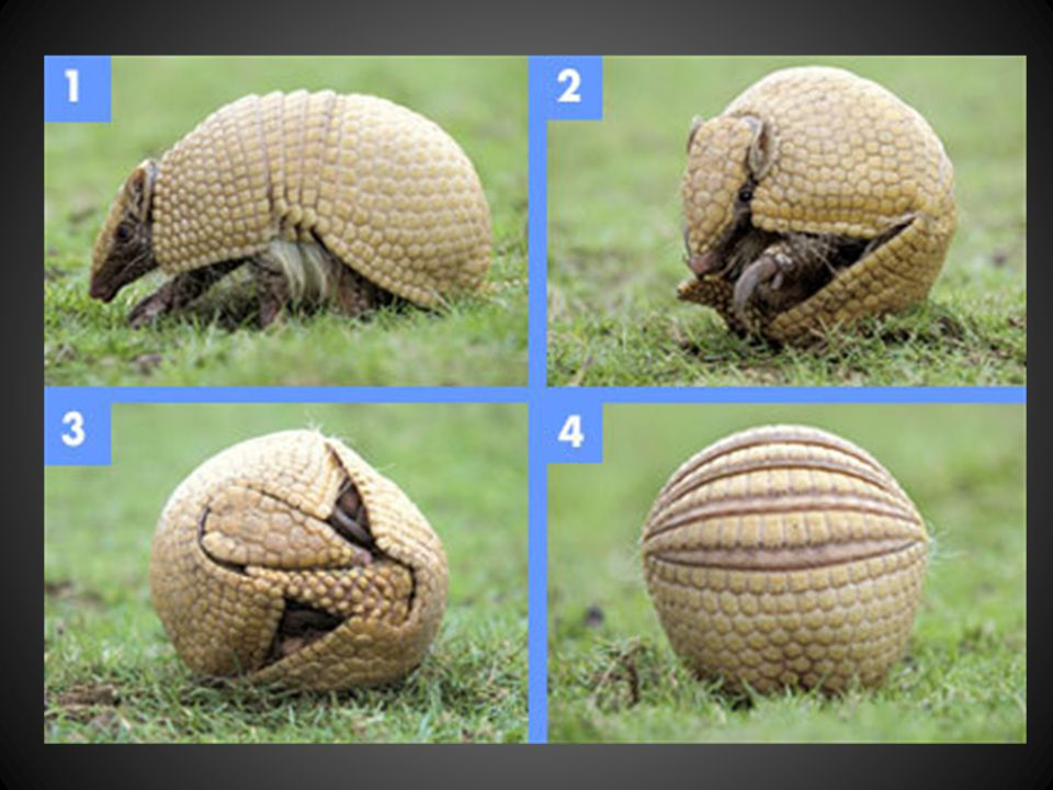 Armadillos are the only living mammals that wear this shell of bony plates.