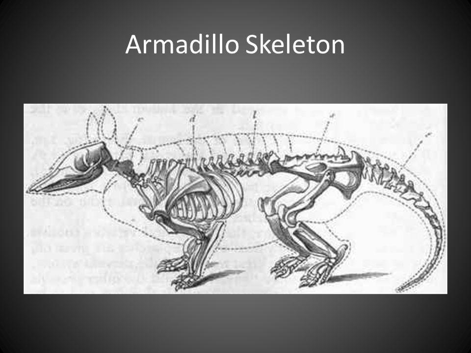 Armadillo Skeleton THE LONG CLAWS ARE FOR DIGGING AND FORAGING FOR FOOD.