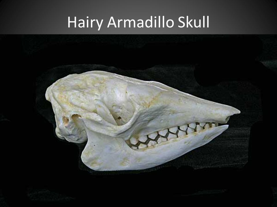 Hairy Armadillo Skull PEG SHAPED TEETH DON'T HAVE ENAMEL. EASILY CRUNCH THROUGH INSECTS THEIR FAVORITE FOOD.