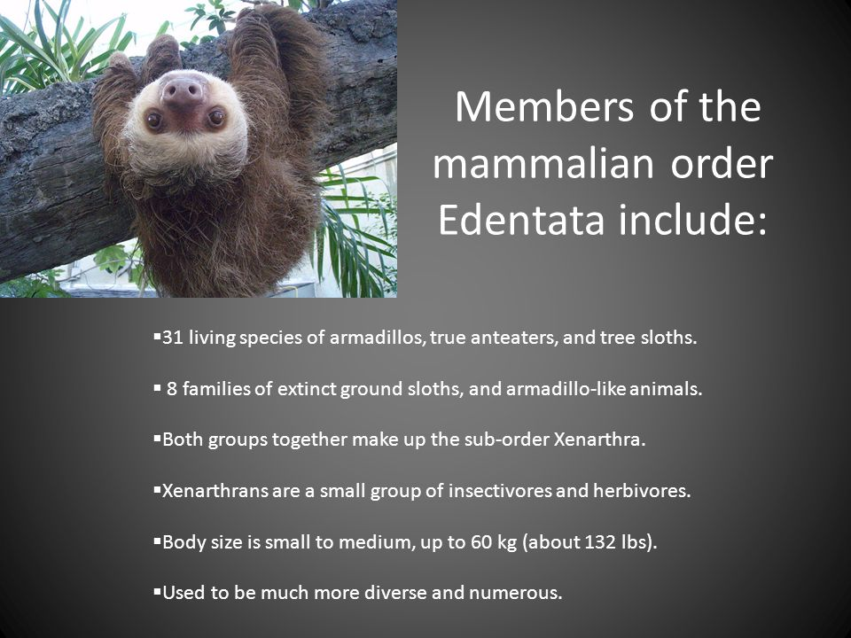 Members of the mammalian order Edentata include: