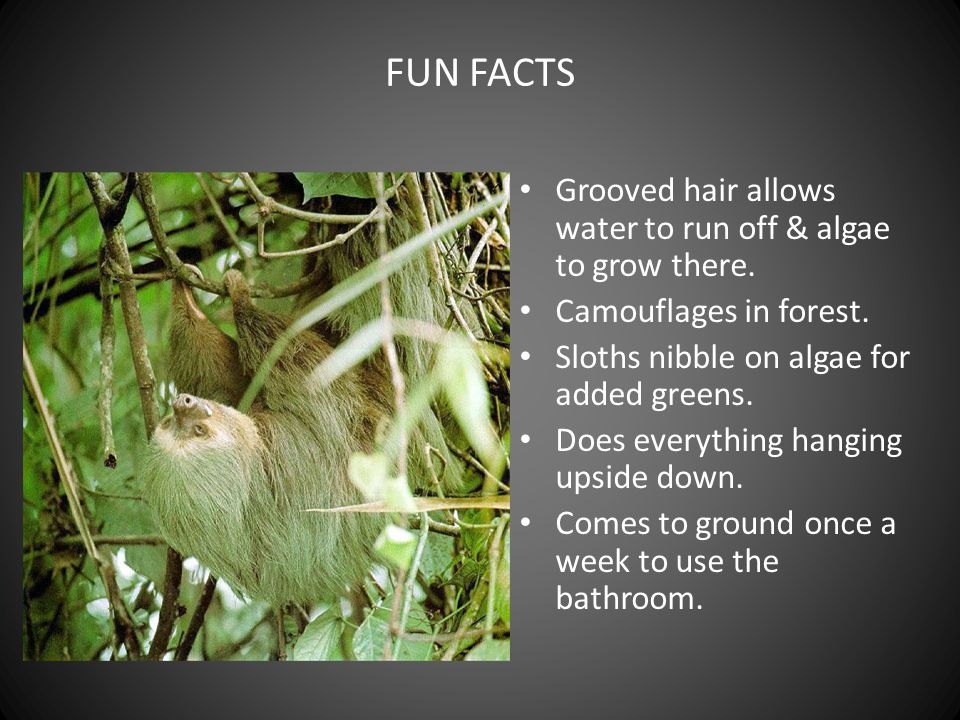 FUN FACTS Grooved hair allows water to run off & algae to grow there.