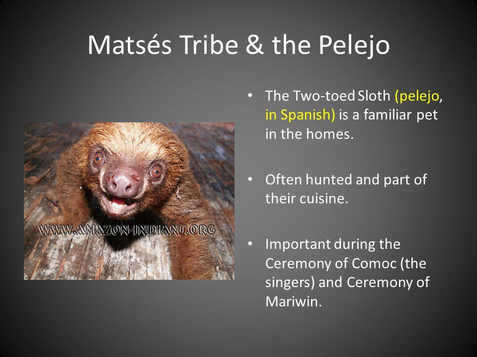 Matsés Tribe & the Pelejo