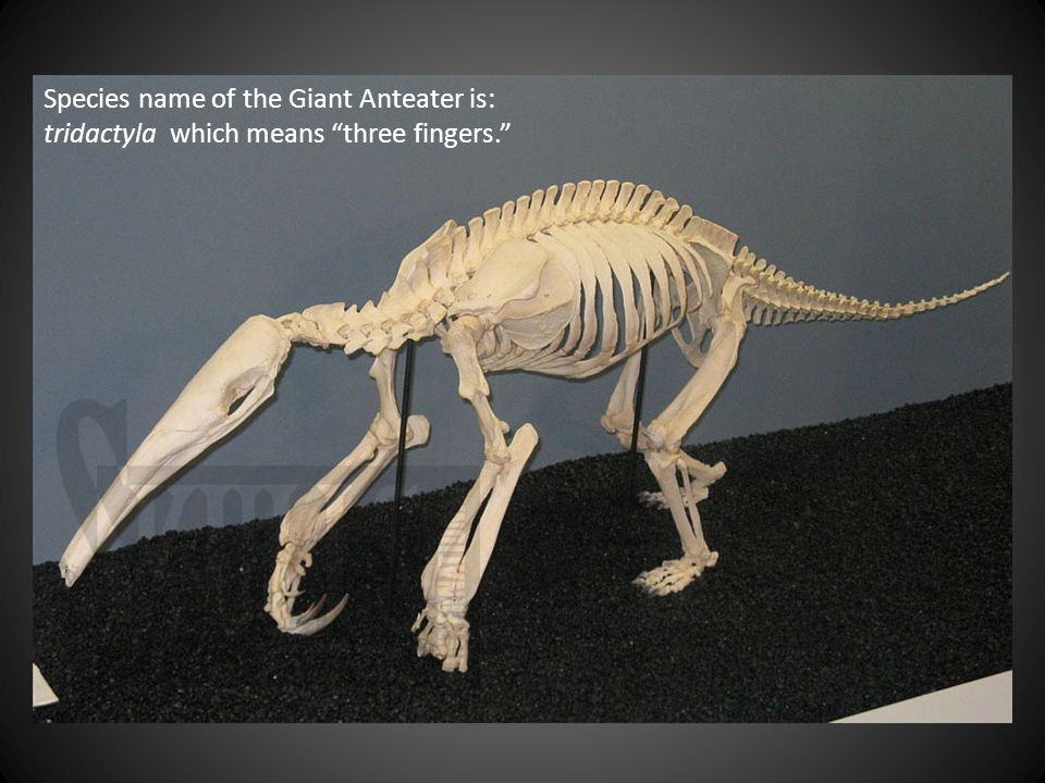 Species name of the Giant Anteater is: