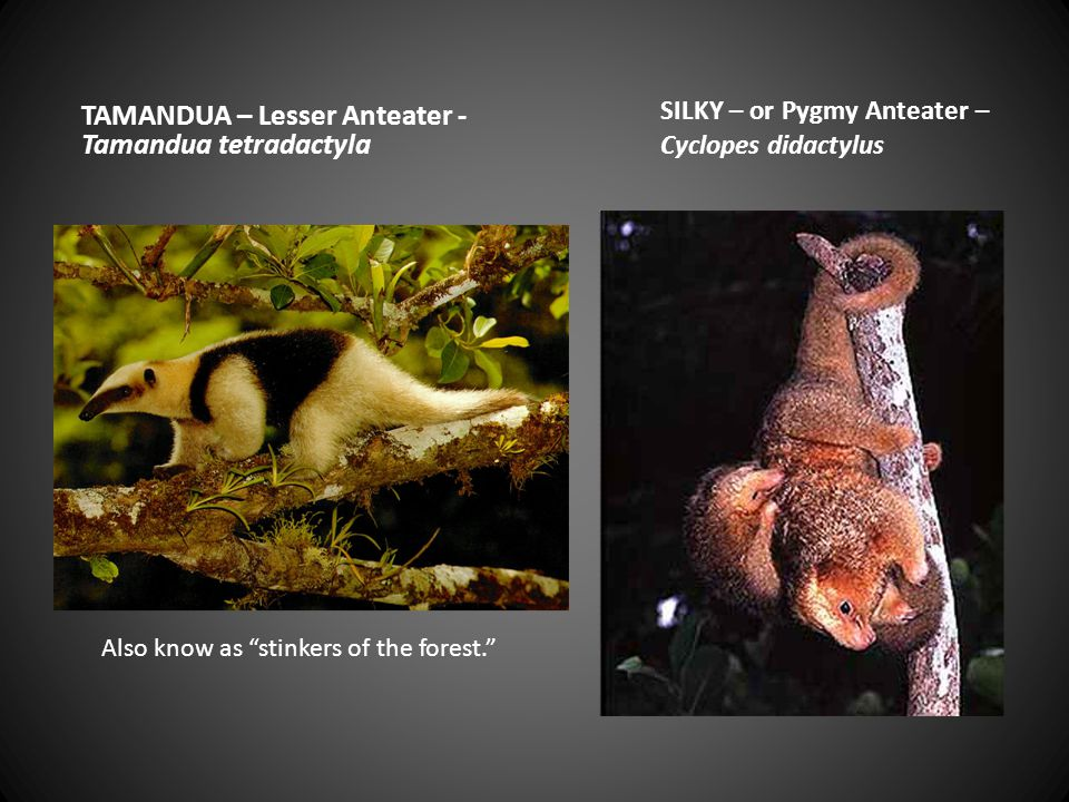 TAMANDUA – Lesser Anteater - Tamandua tetradactyla