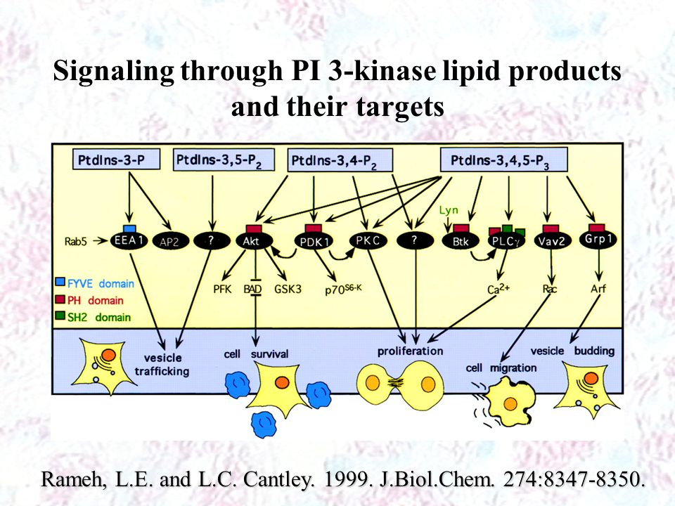 Signaling through PI 3-kinase lipid products and their targets