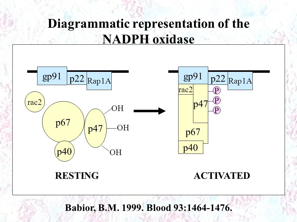 Diagrammatic representation of the NADPH oxidase
