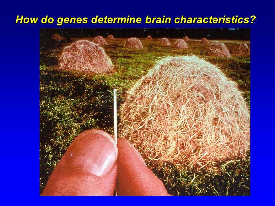 How do genes determine brain characteristics